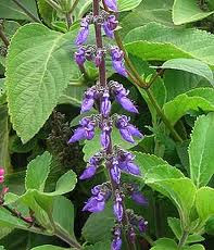 Plectranthus barbatus - Burn - Freelife4you