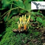 Cordyceps en escarabajo - Freelife4you