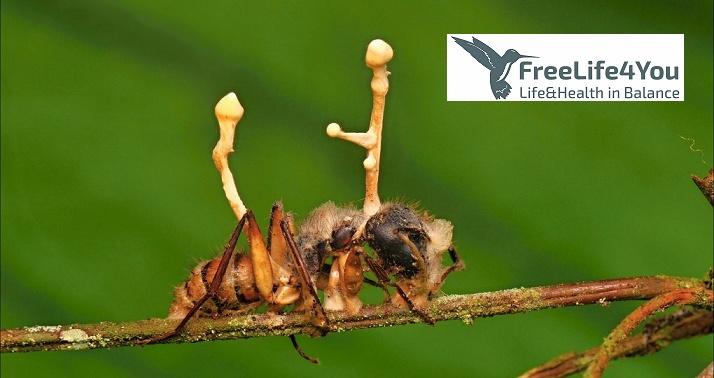 Cordyceps en hormiga